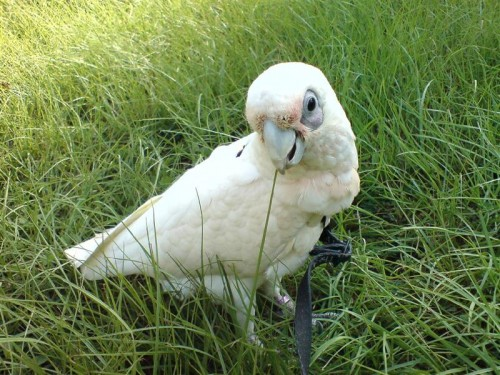 小鳳頭鸚鵡,裸眼巴丹